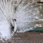 Opal black shoulder silver pied peacock