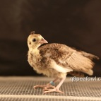 bronze white eye peachick