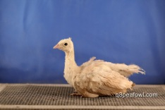 cameo black shoulder peachick