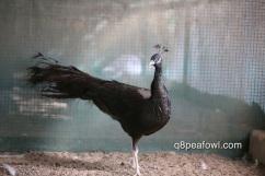 Bronze black shoulder peacock