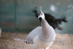 Opal white eye peahen