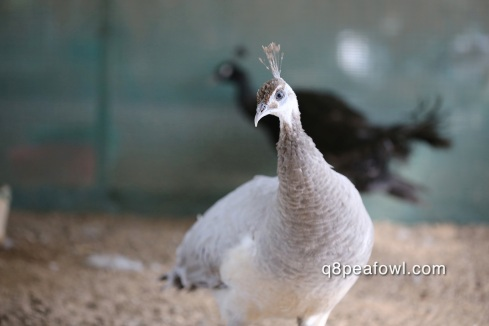 Opal white eye peahen