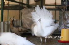 white peacock, 8 months old