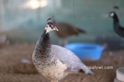Bronze white eye peahen
