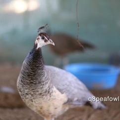Bronze white eye peahen