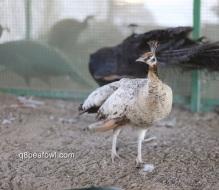 Spalding Bronze black shoulder peahen