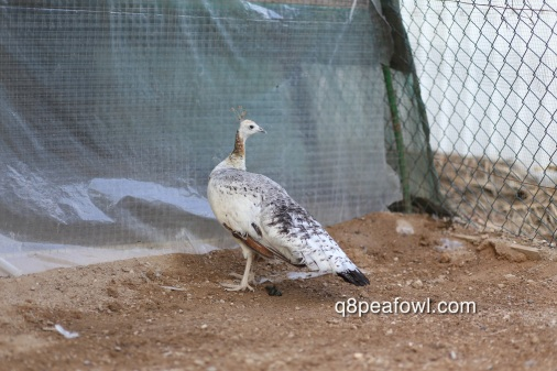 India blue black shoulder peahen