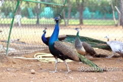 India blue peacock, 2 years old