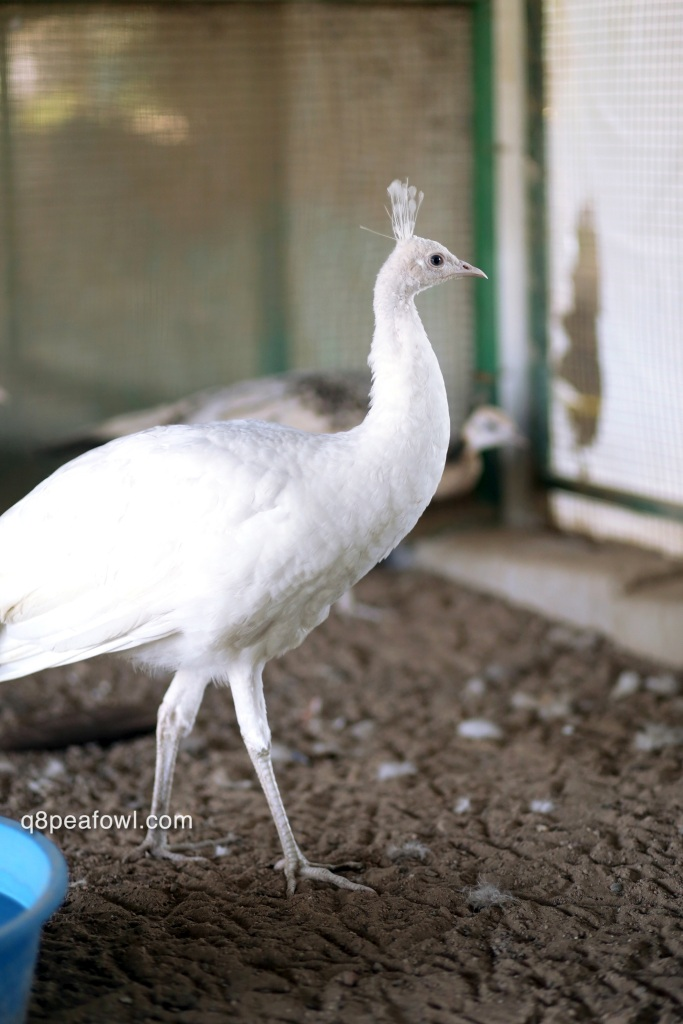 Spalding white peacock, 8 months old