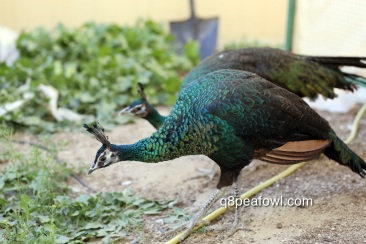 Spalding peahens, 8 months old