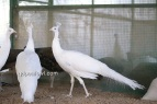 yearling white peacock