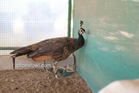 spalding bronze hen
