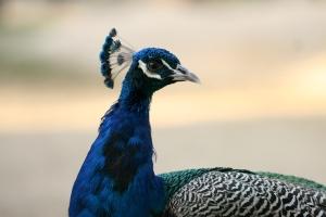 طواويسنا Our Peafowls