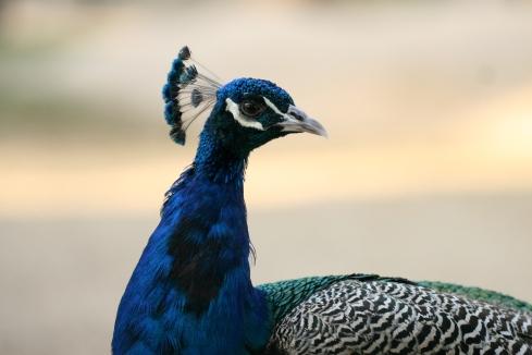 نلاحظ تاج الطاووس الهندي شبيه بالمروحة