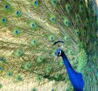 India Blue peafowl