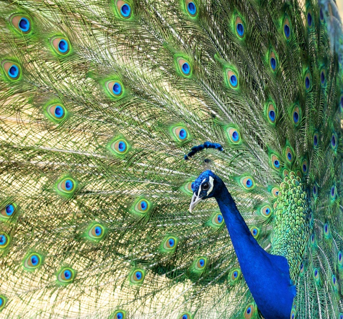 Peafowl Photo Album