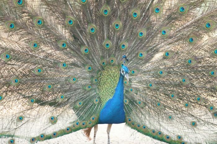 india blue peacock