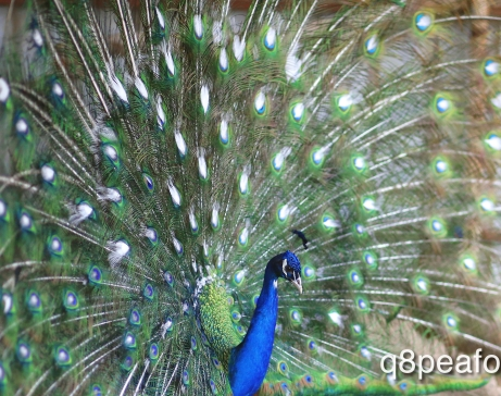 India blue white eye peacock
