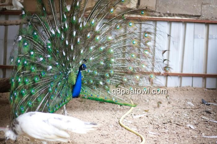 India blue white eye peacock