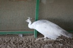 opal silver pied peahen
