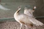 cameo black shoulder peahen