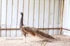 cameo black shoulder peacock