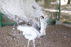 Opal black shoulder silver pied peacock
