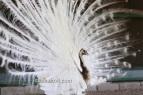 Cameo Black shoulder silver pied peacock
