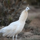 opal black shoulder white eye hen