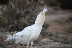 opal black shoulder white eye hen