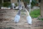 left opal white eye hen, right opal black shoulder white eye hen