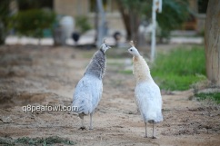 left opal white eye hen, right opal black shoulder white eye hen