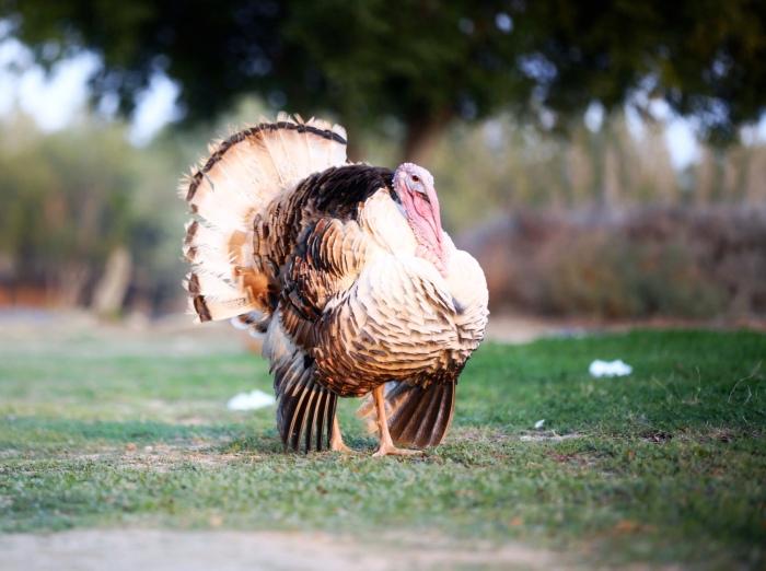 الدجاج الرومي Turkey