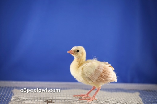 Bronze black shoulder peachick 5 days old