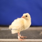 opal black shoulder silver pied chick, almost white when he is young