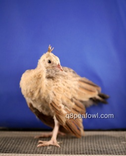 Bronze black shoulder peachick 6 weeks old