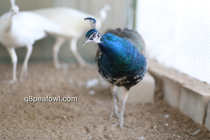yearling india blue peacock