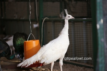 white peacock, 4 months old