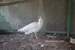 Cameo Black shoulder silver pied peahen