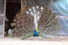 India blue pied white eye peacock