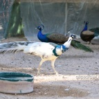 India blue silver pied peacock