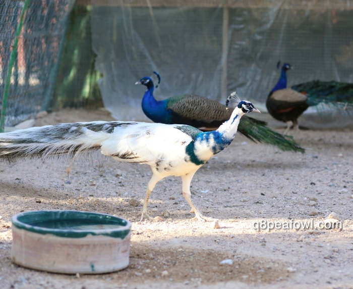 India blue black shoulder silver pied peacock