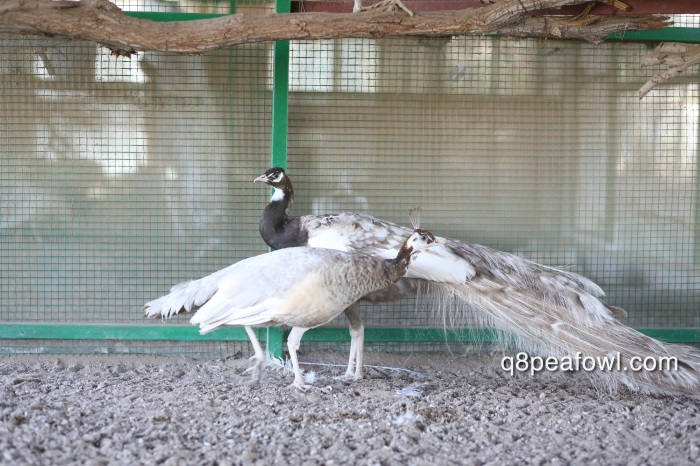 Cameo black shoulder pied white eye peacock with cameo white eye peahen