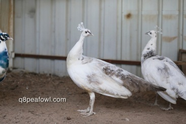 India blue silver pied peahen