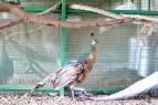 Spalding bronze black shoulder pied peahen