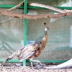 Spalding bronze black shoulder pied peahen
