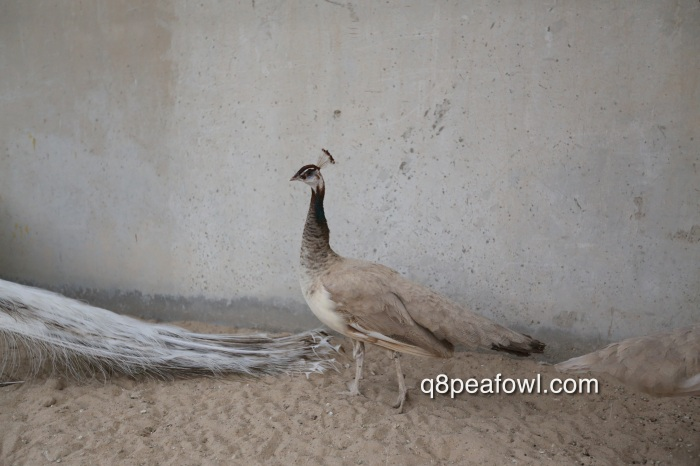 Purple white eye peahen