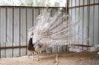 Cameo black shoulder pied white eye peacock