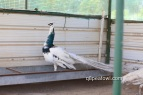 India blue silver pied peacock, 2 years old
