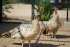 bronze black shoulder hen